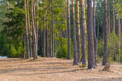 Sun-warmed forest glade Royalty Free Stock Images