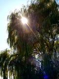 Sun in willow. Willow tree sunlight sun Ray fall royalty free stock photos