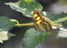 Sun Shining on a Green and Black Malachite Butterfly. Sun on the wings of a green and black malachite butterfly stock images