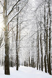 Sun in the winter forest Stock Photography