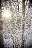 Sun in the winter forest. The sun shines through the branches of trees in the winter forest stock photography