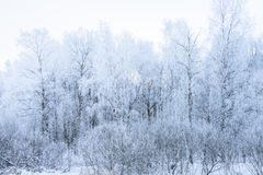 Sun in winter forest trees covered with snow Royalty Free Stock Image