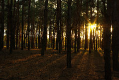 Sun in the wood Royalty Free Stock Photo