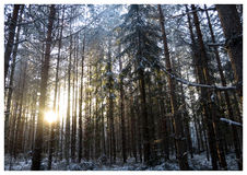 Sun in woods. Sunset during a walk in the snowy woods Stock Image