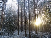 Sun in woods 2. Sunset during a walk in the snowy woods Stock Photos