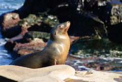 Sun Worshiping Sea Lion. A California Sea Lion suns himself on the rocky coast Royalty Free Stock Images