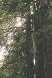 Sun y árboles altos de la secoya fotografía de archivo libre de regalías