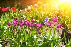Sun y tulipanes Imágenes de archivo libres de regalías