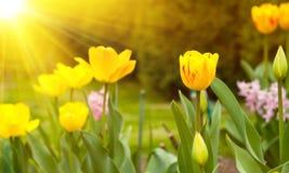 Sun y tulipanes Fotos de archivo libres de regalías