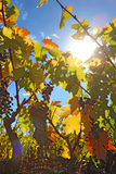 Sun y vides de uva con la llamarada de la lente Fotografía de archivo libre de regalías