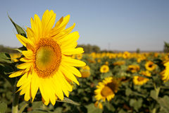 Sun Yellow 1. A big yellow sunflower in a flower field Royalty Free Stock Images
