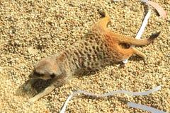 Sunbakes de Meerkat pour absorber la chaleur photos stock