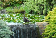 A Sunbaking Duck Royalty Free Stock Photos