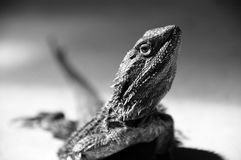 Sunbaking lizard Royalty Free Stock Images