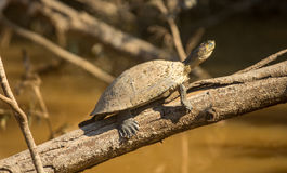 Sunbaking Turtle Royalty Free Stock Photography
