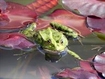Sunbath del Froggy Immagini Stock Libere da Diritti