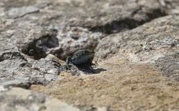 Sunbath do lagarto da parede do ` s de Lilford sobre uma rocha na ilha mediterrânea espanhola Cabrera imagem de stock royalty free