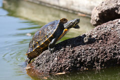 Sunbath turtle Stock Photography