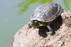 Sunbath turtle Stock Image