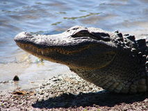 Sunbathing. This is a american alligator in the wild basking in the mid day sun royalty free stock photos