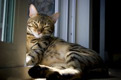 Sunbathing Bengal Kitty. Bengal domestic cat laying in the sunshine next to a screen door royalty free stock images