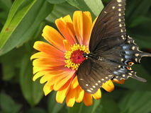 Sunbathing Butterfly. Butterfly sunbathing on a flower.  Some motion blur on wings Stock Photography