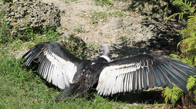 Sunbathing condor Stock Images
