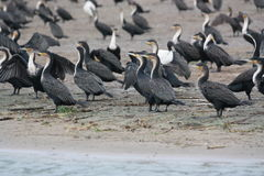 Sunbathing cormorants Royalty Free Stock Photos