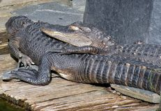 Sunbathing couple of alligators Stock Photos