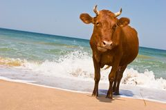 Sunbathing cow Royalty Free Stock Photography