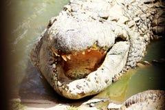 Sunbathing crocodile. In Africa showing teeth Royalty Free Stock Photo