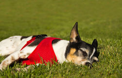 Sunbathing Dog Royalty Free Stock Image