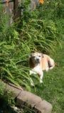 Sunbathing dog royalty free stock photo