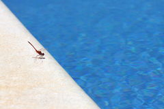 Sunbathing Dragonfly. A dragonfly dries its wings by the pool Stock Photos