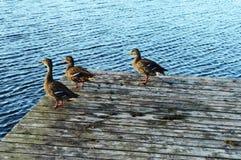 Sunbathing Ducks. A few male mallard ducks sunbathing on the end of the dock in the river water Royalty Free Stock Photos
