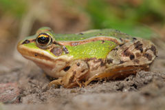 Sunbathing edible frog Stock Photo