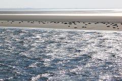 Sunbathing foki między Terschelling i Ameland Fotografia Stock