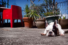 Sunbathing French Bulldog Royalty Free Stock Images