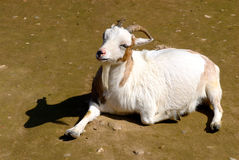 Sunbathing Goat. A goat relaxing as sunbather Stock Photography