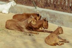 Sunbathing goats together royalty free stock photos