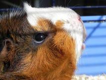 Sunbathing Guinea pig. Guinea pig enjoys the first sunshine Royalty Free Stock Photography