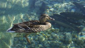 Sunbathing at a happy duck and water Royalty Free Stock Image