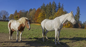 Sunbathing horses on the meadow, autumnal edge of the wood Royalty Free Stock Photo