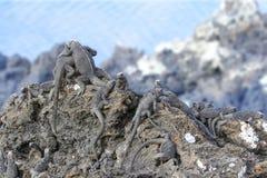 Sunbathing  iguana group on rock Royalty Free Stock Photo