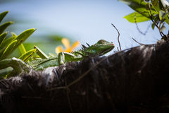 Sunbathing jaszczurka obraz royalty free