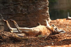 Sunbathing kangaroo stretched out Stock Photos