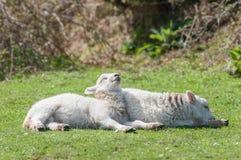 Sunbathing lambs Royalty Free Stock Photos