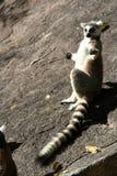 Sunbathing lemur Royalty Free Stock Image