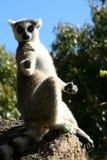 Sunbathing lemur Stock Photo