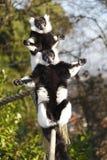 Sunbathing Lemurs royalty free stock image